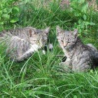 Две обычных серых кошки :: Дмитрий Никитин