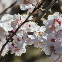 Абрикос цветёт 1 :: Валерий Дворников