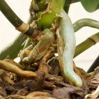 Комнатное растение орхидея корни :: Руслан