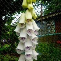 дачные цветы :: Александр Прокудин