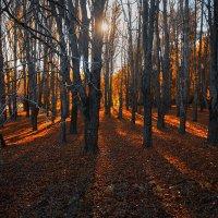 Утро в красном лесу :: Alexander Asedach