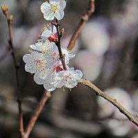 Абрикос цветёт 5 :: Валерий Дворников