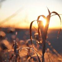Цветок Солнца :: Лиза Исюк