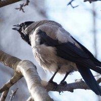 Моя ворона :: kolyeretka