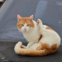 Наглый,рыжий кот. :: Виктор Евстратов