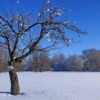 Яблоневый цвет в январе :: Valentina Radygnay