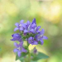 Сиреневый цветок :: Сергей Тагиров