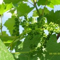 Бутоны виноградных цветов вышли на старт. :: Вячеслав Медведев