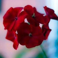 geranium :: Peteris Kalmuks