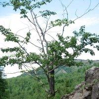 И на камнях растут деревья. :: Сергей Дьяков