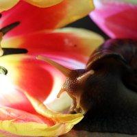 Snail in tulips :: Евгений Балакин