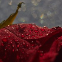 роза :: Седа Ковтун