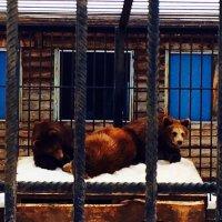 Три медведя :: Светлана Шмелева
