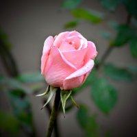 чайная роза :: yurij