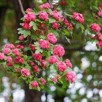 Цветущее дерево :: Андрей Майоров