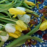 Тюльпаны :: Евгения Кец