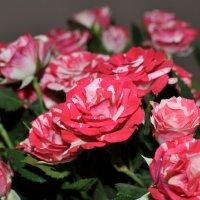 Букет розовых кустовых роз :: Сергей Тагиров