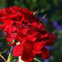 Роза :: Роман В.