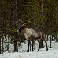 Царь леса :: Яна Старковская