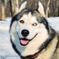 Собака улыбака) :: Вероника Подрезова