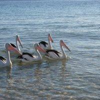 Пеликаны :: Антонина