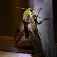 Ночная бабочка :: Елена Кузнецова