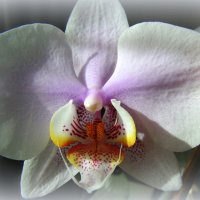 Крылатая орхидея . :: Мила Бовкун