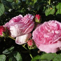 парковая роза :: ЕСЕНИЯ ♥