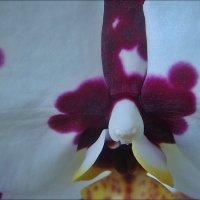 Душа орхидеи :: Нина Корешкова