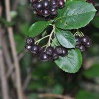 Плоды черной рябины :: Сергей Тагиров