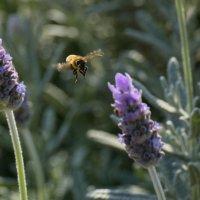 пчела и лаванда :: Александр Деревяшкин