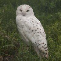 Гипноз совы: Смотри мне в глаза, ну смотри же мне в глаза! :: Владимир Максимов