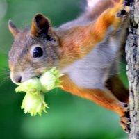 Поспел лесной орех :: Сергей