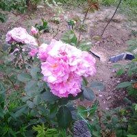 Роза :: Виталий Кожин