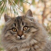 Кот на ветках  сосны :: Оксана Лада