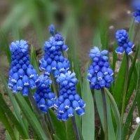 Весны цветение :: Ольга