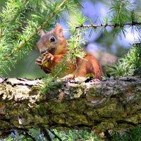 Белка ест молодые побеги лиственницы :: Сергей