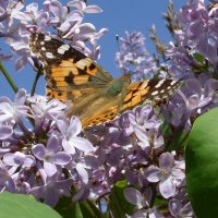 Бабочки летают, бабочки... :: Вячеслав Медведев