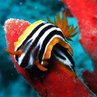 Голожаберный моллюск :: Дмитрий Челноков