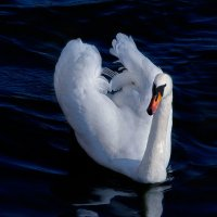 а белый лебедь :: Galina Egorova