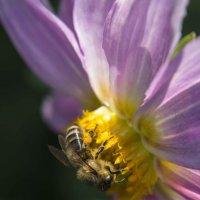 пчелка :: василиса косовская