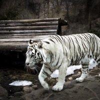 Бенгальский белый тигр :: Виктор М