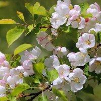 Яблони в цвету... :: И.В.К. ))