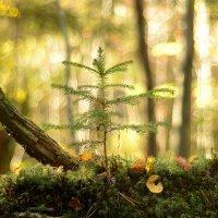 в лесу родилась ёлочка...) :: Андрей Вестмит