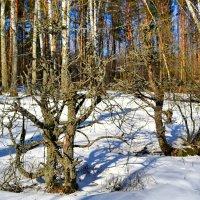 Странной формы деревья :: Милешкин Владимир Алексеевич