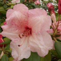 Розовая красавица :: Lukum