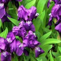Цветут ирисы. :: Нина