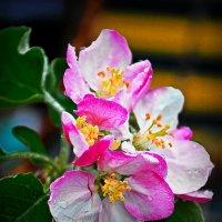 яблоня в цвету.... :: Юрий Владимирович