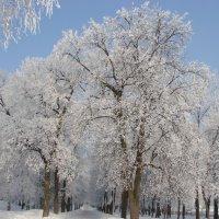 Деревья в инее :: Сергей Тагиров