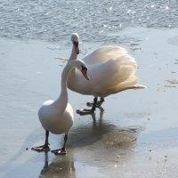 Лебеди на льду.. :: Валентина Дмитровская